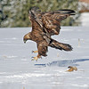 Golden Eagle,<br /> Boulder County,Colorado