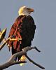 Bald Eagle 3797