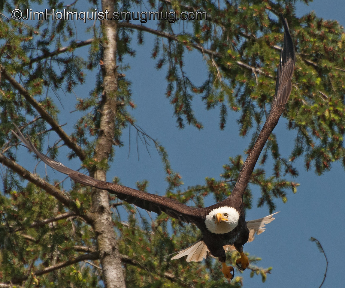 American Bald Eagle - near Olympia, Wa. Taken in 2012.