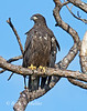 A young juvenile Bald Eagle just starting to regularly leave its nest.