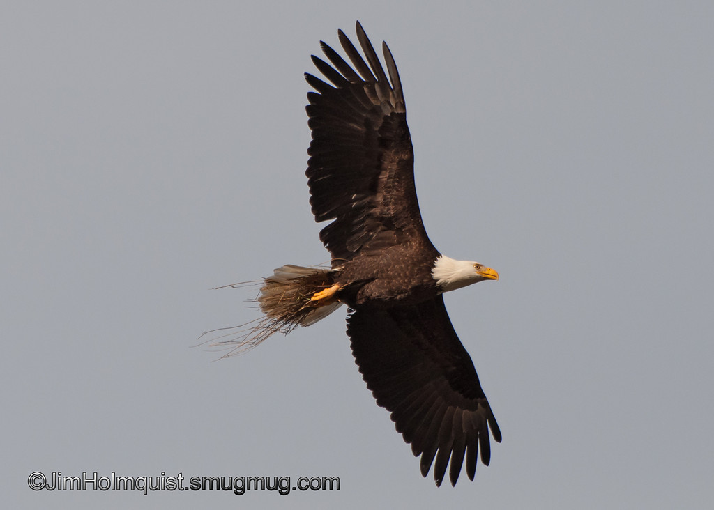 American Bald Eagle - With nesting material