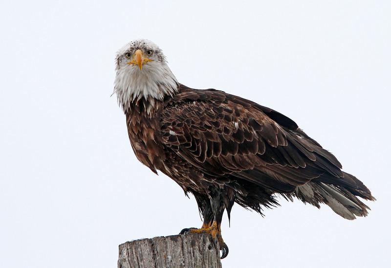 Young Bald Eagle<br /> Farmington Bay,Utah