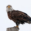 Young Bald Eagle<br /> Farmington Bay,Utah