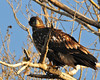 Juvenile Bald Eagle 2883