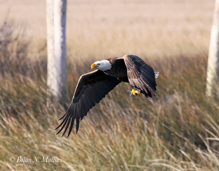 Bald Eagle with a fish in talons