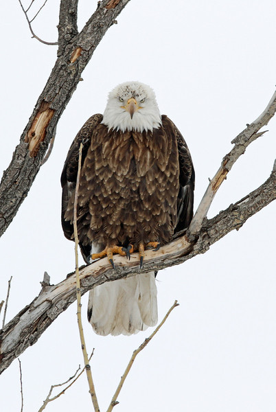 Bald Eagle<br /> <br /> Union Reservoir,Longmont,Colorado