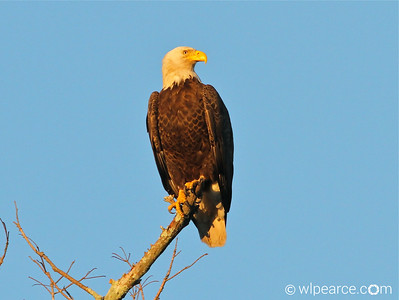 Bald Eagle right at sundown.  Pottsburg Creek. Get notifications via: