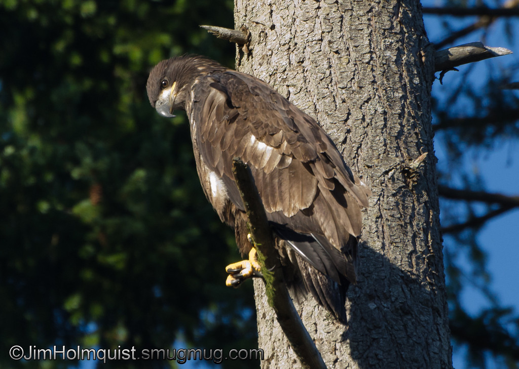 American Bald Eagle - fledgling just learned to fly near Olympia, Wa