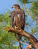 Very young Bald Eagle. It's the sibling of darker colored juvenile.