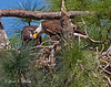Bald Eagle feeds its fledgling after bringing a freshly caught fish.