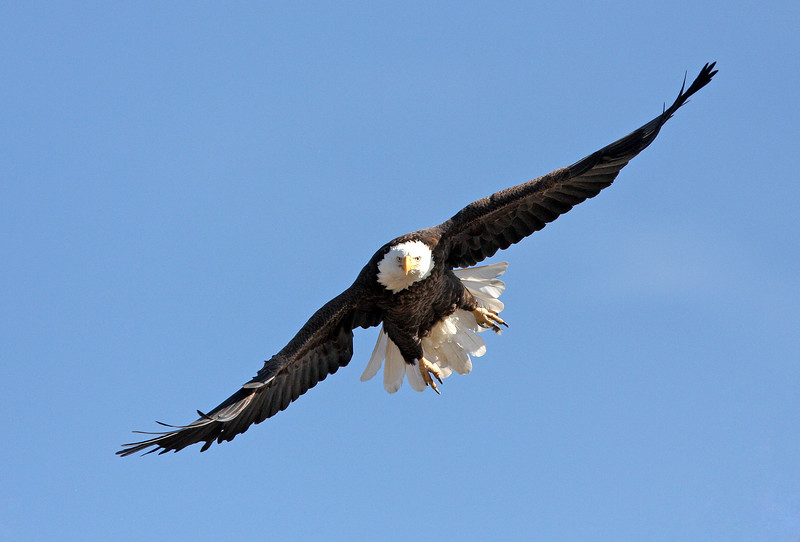 Bald Eagle <br /> Boulder County,Colorado