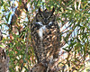 Great Horned Owl 1049