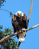 Bald Eagle scratching eye bird