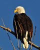 Am. Bald Eagle_7327.JPG