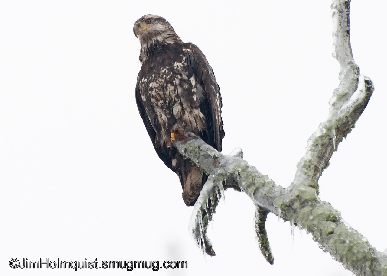 American Bald Eagle - On a ice covered branch at Nisqually Wildlife Refuge near Olympia, Wa