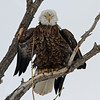 IMG_3962x Bald Eagle Boulder county Colorado<br /> Published in Colorado Outdoors Magazine.<br /> March/April 2011