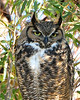 Great Horned Owl 1088