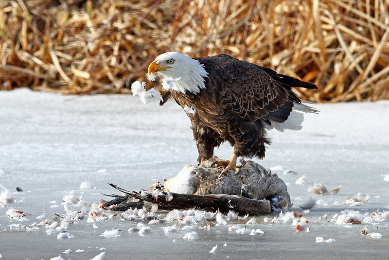 Bald eagle on a dead goose