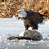 Bald eagle on a dead goose