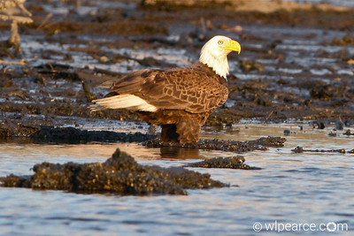 Bald Eagle...  Pottsburg Creek. Get notifications via: