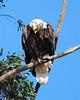 Bald Eagle 0223