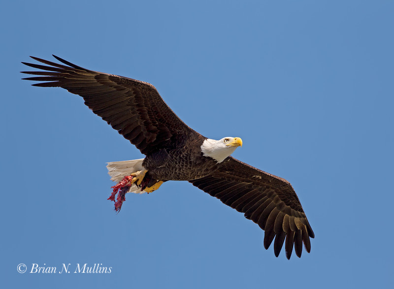 Bald Eagles can scavenge as well as fish