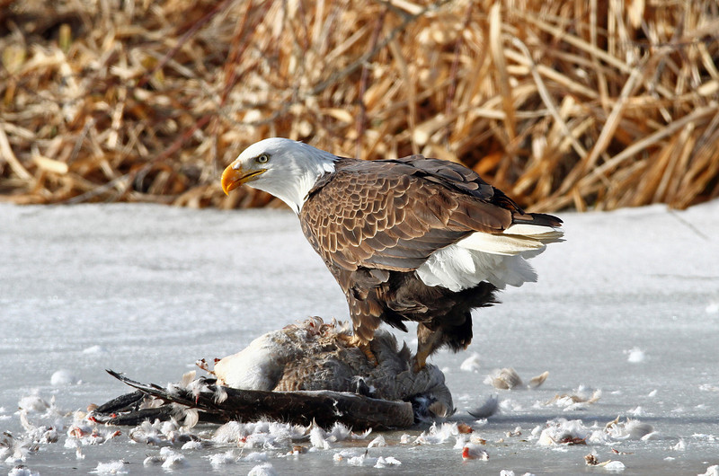 "Bald Eagle<br /> Standing on a goose ""frozen pond"""