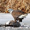 "Bald Eagle<br /> Standing on a goose ""frozen pond"""