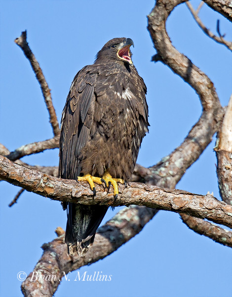 A very young Bald Eagle calls out.