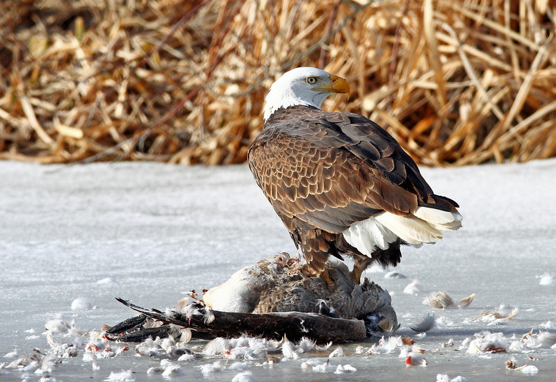 Bald Eagle <br /> This guy found a dead goose on a frozen pond.<br /> Weld County,Colorado...series