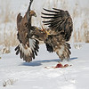 Two young Eagles,fighting over a praire dog.<br /> Boulder County,Colorado