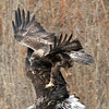 Golder Eagle flying over the top of a young Bald Eagle.<br /> Boulder County,Colorado