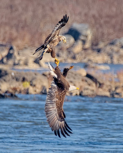 Bald Eagles Sparring