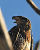 Immature Bald Eagle_7445.JPG