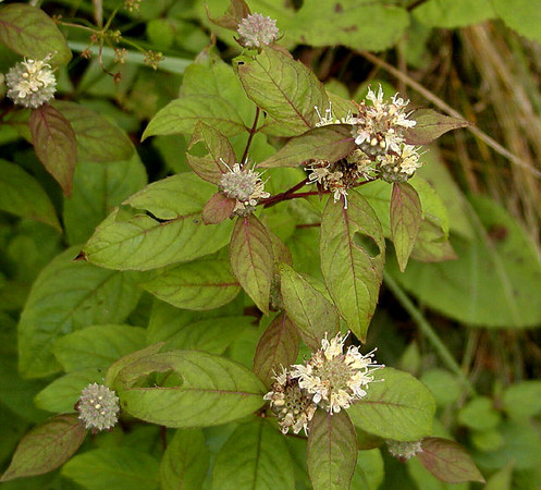 Loomis Mountain Mint<br /> Pycnanthemum loomisii<br /> Lamiaceae<br /> The prettiest, most intriguing species of mountain mint I've seen yet.<br /> Creamy yellow blossoms with tiny specks of red. It is very fragrant!<br /> Blooming beside Balsam Mountain Road, NC<br /> 8/4/07