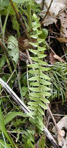 Ebony Spleenwort Balsam Mtn Road GSMNP NC  6/17/07