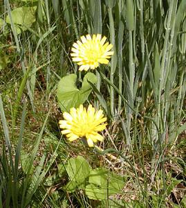 Dwarf Potato Dandelion Balsam Mtn Road  GSMNP NC  6/17/07