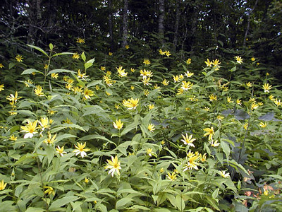 Entire Herd of Whorled Sunflowers along Balsam Mountain Road, NC<br /> Asteraceae<br /> 8/4/07