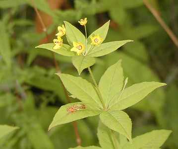 Whorled Yellow  Loosestrife near the parking lot for Waterrock Knob, NC<br /> Lysimachia quadrifolia<br /> Primulaceae<br /> 8/4/07