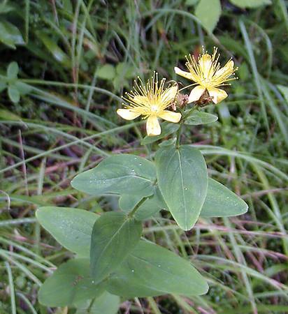 Mountain Saint Johnswort is plentiful at Waterrock Knob, NC<br /> Hypericum graveolens<br /> Clusiaceae<br /> 8/4/07