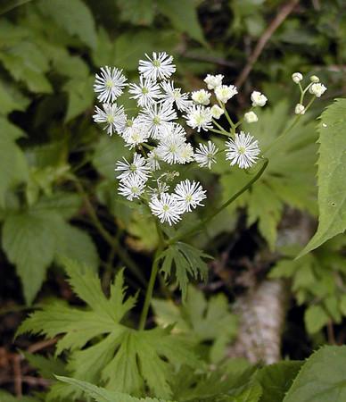 Tassell Rue<br /> trautvetteria caroliniensis<br /> Ranunculaceae <br /> Balsam Mtn Road <br /> GSMNP NC <br /> 6/17/07