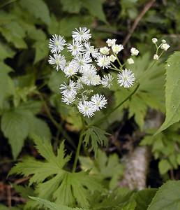 Tassell Rue trautvetteria caroliniensis Ranunculaceae  Balsam Mtn Road  GSMNP NC  6/17/07