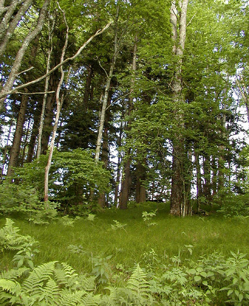 Looking up the slope from Flat Creek Trail toward the picnic grounds<br /> Balsam Mtn Road <br /> GSMNP NC <br /> 6/17/07
