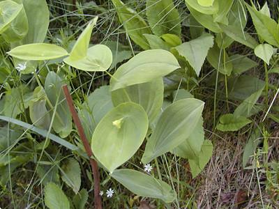 Gopher Weed<br /> Balsam Mtn Road <br /> GSMNP NC <br /> 6/17/07