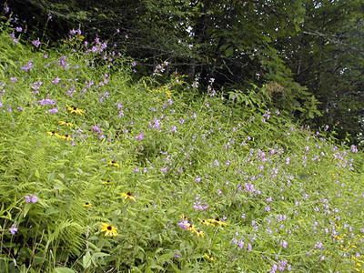Entire Roadside filled with phlox, obedient plant, blackeyed susans, and ferns. <br /> Balsam Mountain Road, NC 8/4/07
