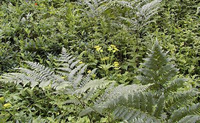 Bracken Ferns and Golden Alexanders<br /> Balsam Mountain Road, GSMNP <br /> 6/17/07