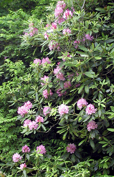 Catawba Rhododendron <br /> Balsam Mtn Road <br /> GSMNP NC <br /> 6/17/07