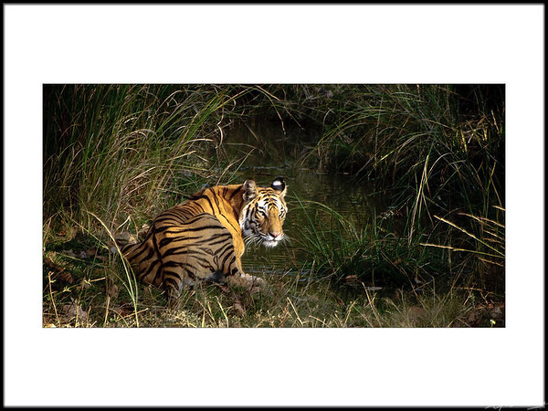 17: Bandhavgarh tiger sighting A leisurely drink 28 February 2010 NIKON D90; 70-300 mm f/4.5-5.6; Pattern; 1/400 sec at f/5.6; ISO-900;