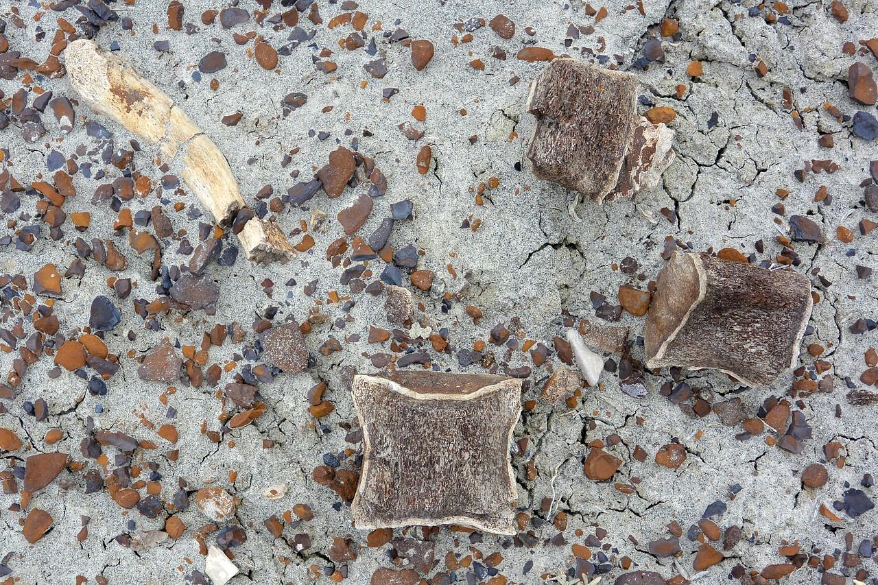 Dinosaur bones in Dinosaur Provincial Park, Alberta