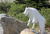 This was pretty much the only wildlife we saw on our entire trip--a sculpture of a mountain goat.  Bummer.